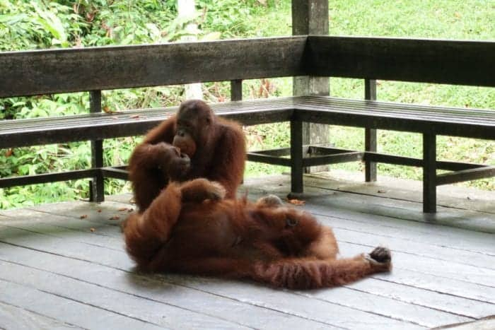 Wild orangutans in Borneo by Nic of Roaming Renegades
