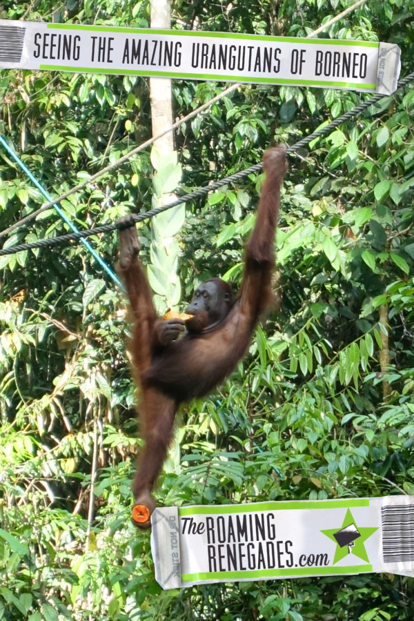 borneo orangutan, orangutan borneo, orangutan sanctuary borneo, orangutans in borneo, Seeing Orangutans in Borneo: A magical experience seeing this fascinating endangered animal in its natural setting, Semmengoh, Urang utan, Kuching, Kota Kinabalu, monkey, ape, endangered, wild, semi wild, safe, price, how to get to Semmengoh from Kuching,