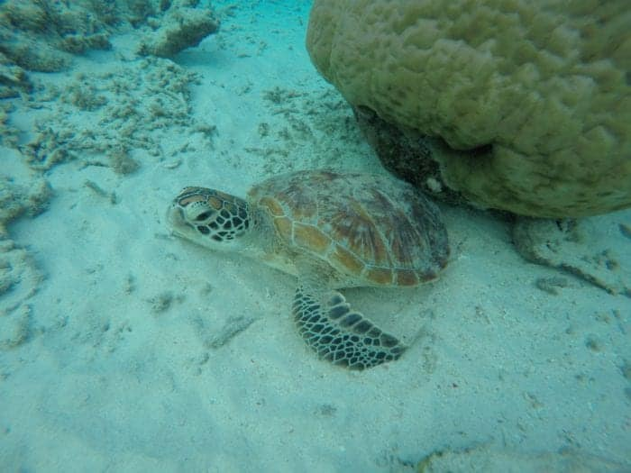 A guide to the unbelievable paradise Gili islands in between Lombok and Bali where you can swim with turtles! Indonesia, Gili Air, Gili Meno, Gili T, Gili Trawangan, Gili trawangan accomodation, transport, boat, ferry, fast boat, Gili islands from Bali, Turtles, snorkel, SCUBA, beach, honeymoon, resort, cost, bali gili islands, gili air accommodation, Gili islands hotels, hostel, backpackers, Gili islands Indonesia, the gili islands, Lombok, Villa, resort, boat to Gili,